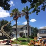 Arborists use special equipment to trim Palms.