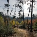 Burned pines, new growth walking Trail, Sandy path, Bastrop State Park.